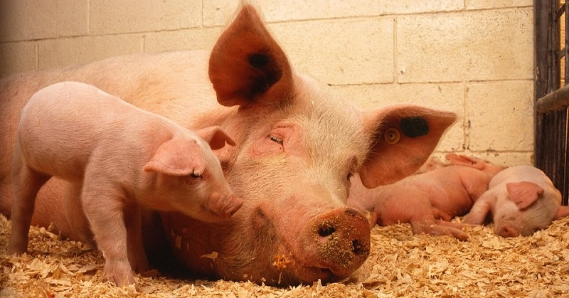 DA Bans Pork and Pork Products from 18 Countries 1